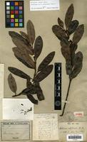 Holotype of Melodinus polyadenus Baill. [family APOCYNACEAE]