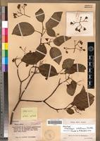 Holotype of Hilsenbergia schatziana J.S.Mill. [family BORAGINACEAE]