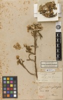 Holotype of Cineraria angustifolia Kunth [family ASTERACEAE]