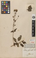 Holotype of Bidens squarrosa Kunth [family ASTERACEAE]