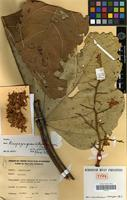 Holotype of Acropogon grandiflorus Morat & Chalopin [family STERCULIACEAE]