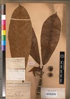 Isotype of Ficus eriobotryoides Kunth & C.D.Bouché var. caillei Mildbr. & Burret [family MORACEAE]