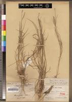Holotype of Lepturus perrieri A.Camus [family POACEAE]