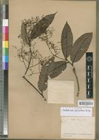 Isotype of Beilschmiedia calcitranthera Fouilloy [family LAURACEAE]