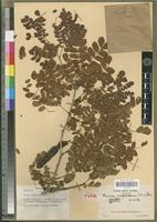 Holotype of Mimosa mahilakensis Villiers [family FABACEAE-MIMOSOIDEAE]