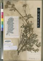 Holotype of Saussurea davidi Franch. [family ASTERACEAE]