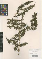 Isotype of Pteris navarrensis Christ [family PTERIDOPHYTA]