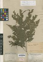 Lectotype of Pteris laevis Mett. [family PTERIDOPHYTA]