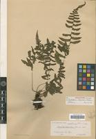 Holotype of Coryphopteris integriloba Holttum [family PTERIDOPHYTA]