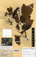 Isotype of Guioa capillacea A.C.Smith [family SAPINDACEAE]