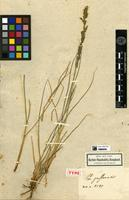 Holotype of Poa pastoensis Kunth. [family POACEAE]