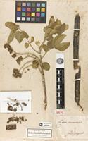 Holotype of Cassia canescens Kunth [family FABACEAE-CAESALPINIOIDEAE]