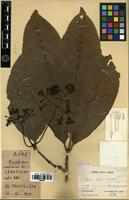 Holotype of Ixora asme Guillaumin [family RUBIACEAE]