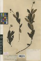 Isolectotype of Chimaphila umbellata (L.) W.P.C.Barton var. mexicana DC. [family PYROLACEAE]