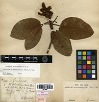Isolectotype of Arbutus macrophylla M.Martens & Galeotti [family ERICACEAE]