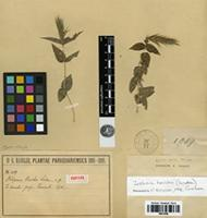 Isotype of Justicia hassleri (Lidau) Graham [family ACANTHACEAE]