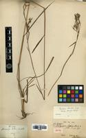Isotype of Cymbopogon thwaitesii (Hook. f.) Willis [family POACEAE]
