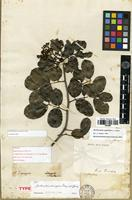 Holotype of Fagara domingensis Krug & Urb. [family RUTACEAE]