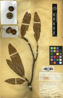 Type of Quercus chapensis Hickel & A.Camus [family FAGACEAE]