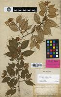 Holotype of Elaeagnus ferruginea Rich. [family ELAEAGNACEAE]