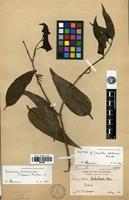 Isotype of Decaisnina sumbawensis (Tiegh.) Barlow [family LORANTHACEAE]