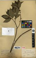 Type of Ficus tuphapensis Drake [family MORACEAE]