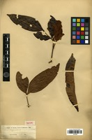 Isotype of Inga assimilis Miq. [family FABACEAE]
