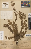 Holotype of Potentilla fallens Cardot [family ROSACEAE]