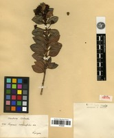 Isolectotype of Eugenia alaternifolia Benth. [family MYRTACEAE]