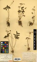 Isotype of Oxalis stipulata ((Rose)) Rose ex R. Knuth [family OXALIDACEAE]