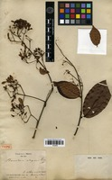 Type of Banisteriopsis elegans (Triana & Planch.) Sandwith [family MALPIGHIACEAE]
