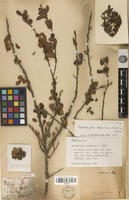 Holotype of Zanthoxylum taediosum A.Rich. [family RUTACEAE]