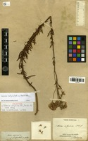 Holotype of Stevia calycina DC. [family ASTERACEAE]