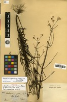 Isotype of Praxelis asperulacea (Baker) R.M.King & H.Rob. [family ASTERACEAE]