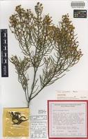 Holotype of Acacia ascendens Maslin [family FABACEAE]