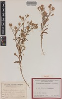 Isotype of Streptoglossa tenuiflora Dunlop [family ASTERACEAE]