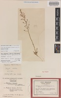 Isotype of Stylidium zeicolor F.L.Erickson & J.H.Willis [family STYLIDIACEAE]