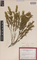 Holotype of Stachystemon axillaris A.S.George [family EUPHORBIACEAE]