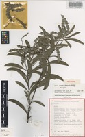 Holotype of Acacia alcockii Maslin & Whibley [family FABACEAE]