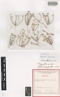 Holotype of Angianthus uniflorus P.S.Short [family ASTERACEAE]