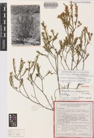 Holotype of Eriostemon wonganensis Paul G.Wilson [family RUTACEAE]