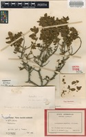 Lectotype of Prostanthera magnifica C.A.Gardner [family LAMIACEAE]