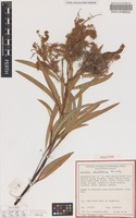 Holotype of Grevillea donaldiana Kenneally [family PROTEACEAE]