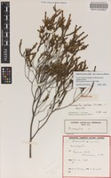 Holotype of Micromyrtus papillosa Rye [family MYRTACEAE]