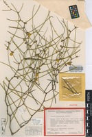 Holotype of Acacia sciophanes Maslin [family FABACEAE]