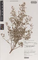 Isotype of Lithomyrtus densifolia N.Snow & Guymer [family MYRTACEAE]