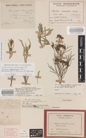 Isolectotype of Grevillea argyrophylla Meisn. [family PROTEACEAE]