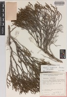 Holotype of Melaleuca sculponeata Barlow [family MYRTACEAE]