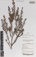 Isotype of Melaleuca condylosa Craven [family MYRTACEAE]