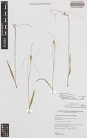 Holotype of Caladenia petrensis A.P.Br. & G.Brockman [family ORCHIDACEAE]